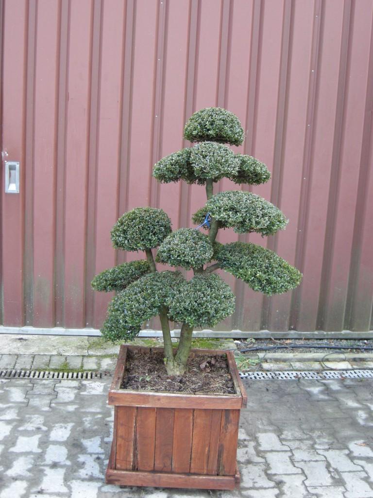 Ilex crenata Kinme - Japan-Niwaki