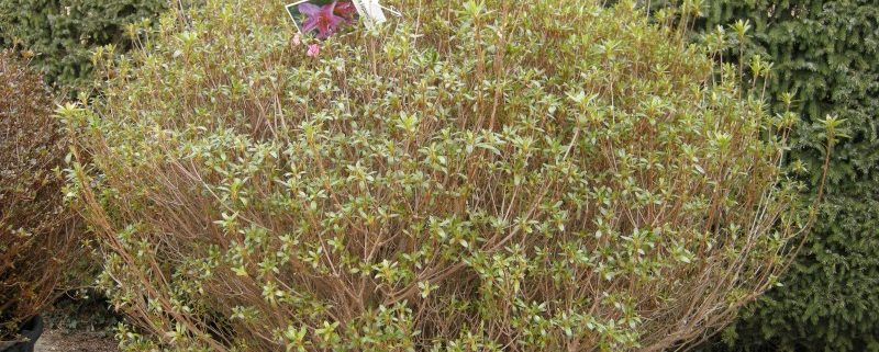 Azalea japonica Purple Splendor