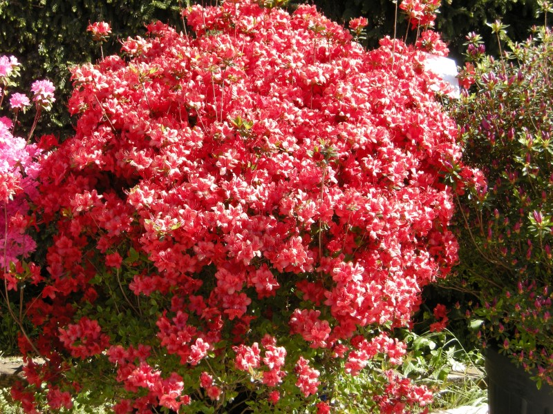 """Azalea japonica """"Stewartstonian"""""""