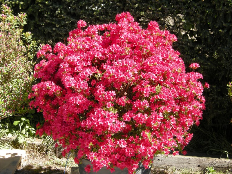 """Azalea japonica """"Ima Shojo"""""""
