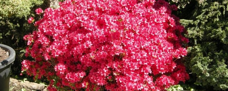 "Azalea japonica ""Hino Crimson"""