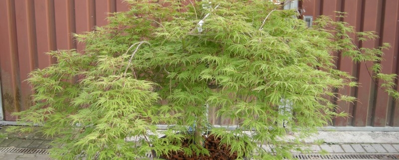 Acer palmatum Dissectum Viridis Grüner Schlitzahorn