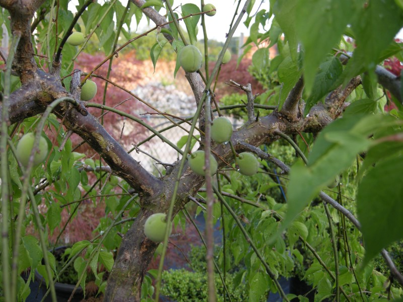 Fruchtansatz von Prunus mume
