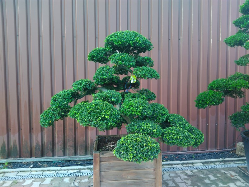 Ilex crenata Japan-Bonsai IC15018 Bonsai.NRW