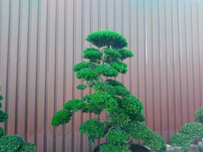 Ilex crenata Japan-Bonsai IC17005 Bonsai.NRW