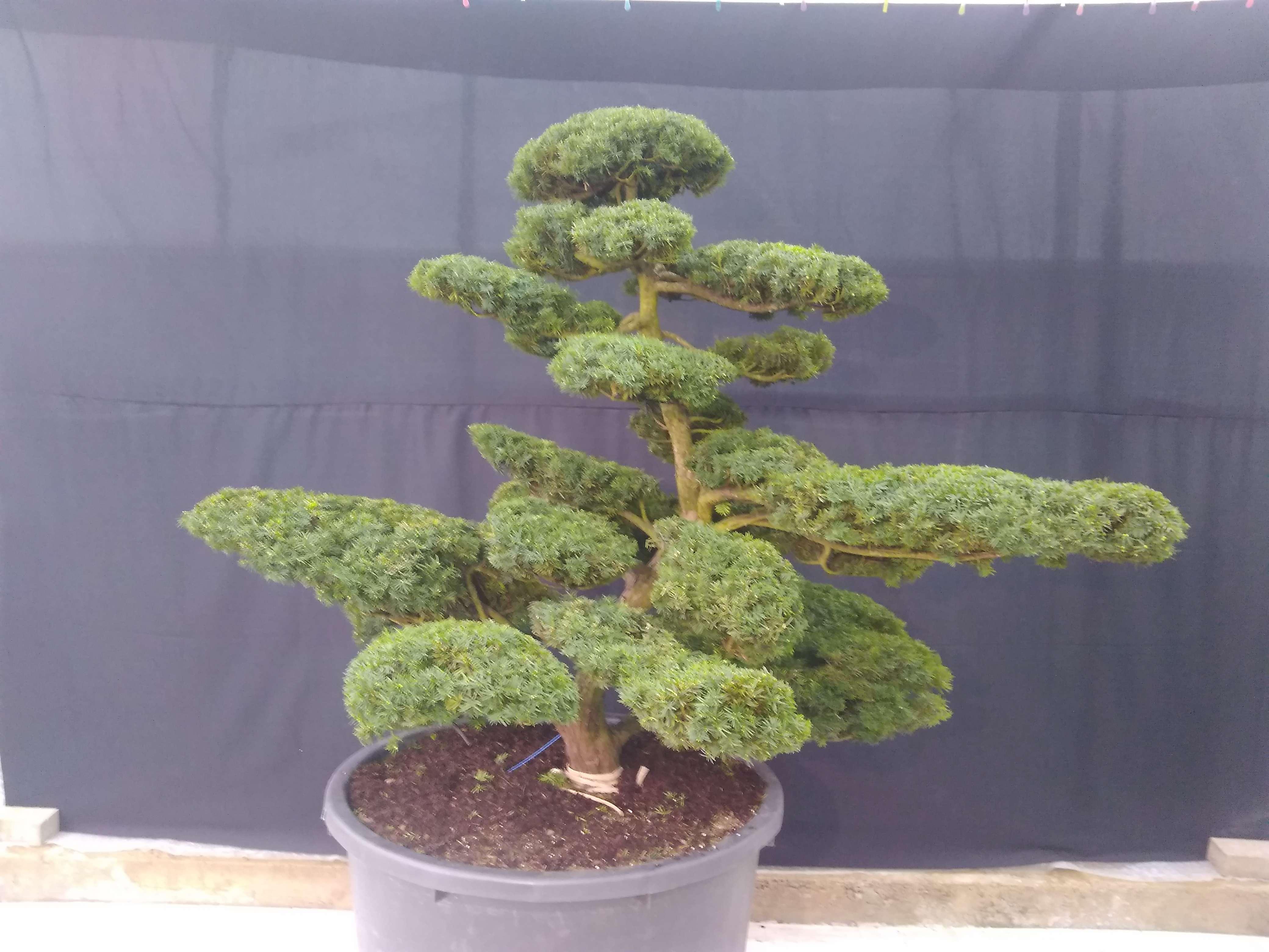 Taxus cuspidata Japan Niwaki Bonsai Bonsai-NRW