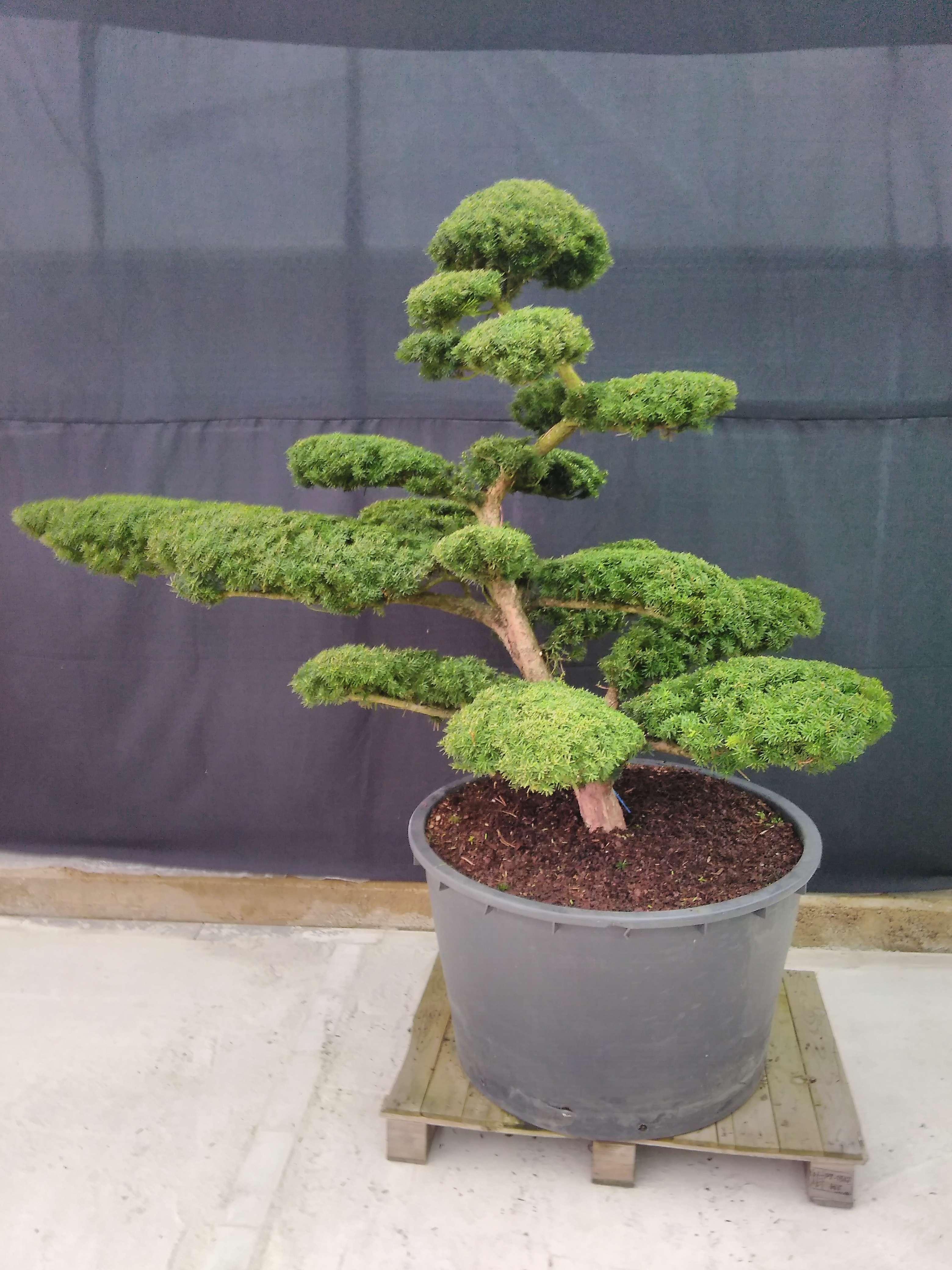 Taxus cuspidata Niwaki Japanische Eibe Bonsai.NRW