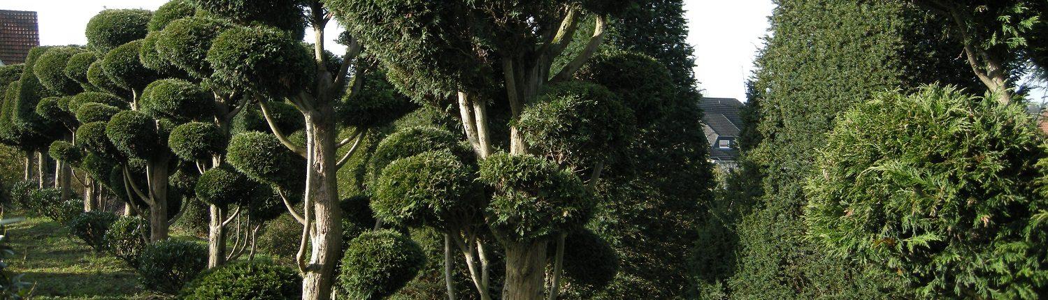 Cupressocyparis leylandii Formgehölz